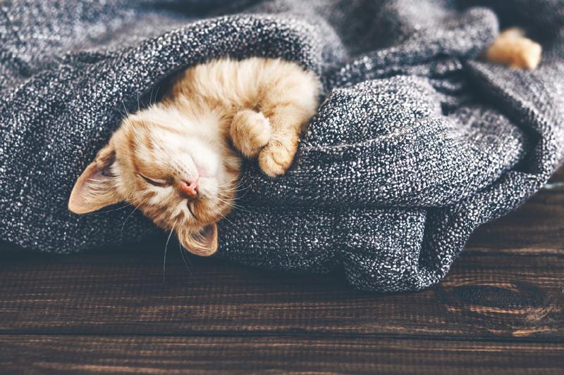 Cat sleeping upside down covered in blanket