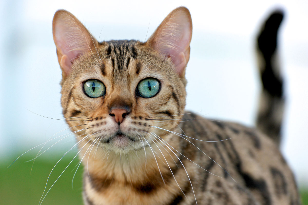 Purebred Bengal Cat with Green Eyes