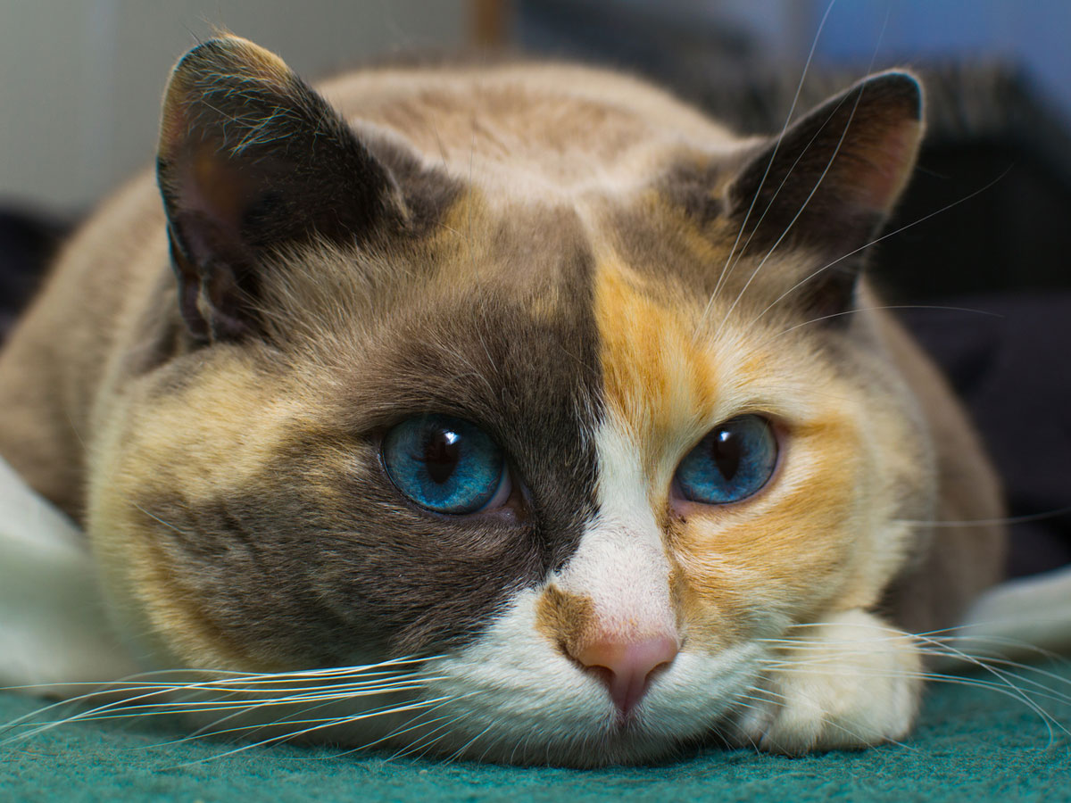 Calico cat with blue eyes