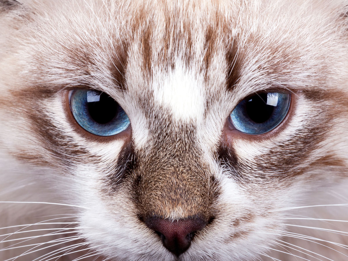 Colorpoint cat with blue eyes
