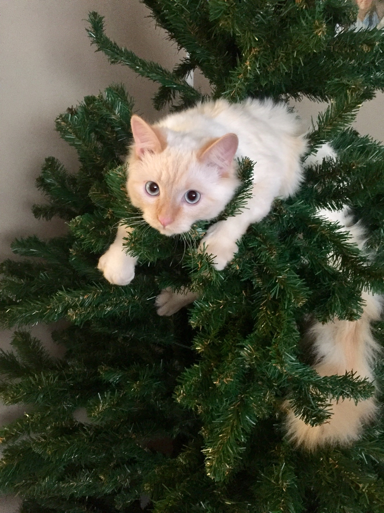 Flame colorpoint cat on Christmas Tree