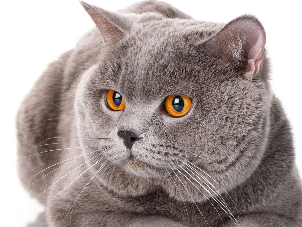 British Blue Cat with Orange Eyes