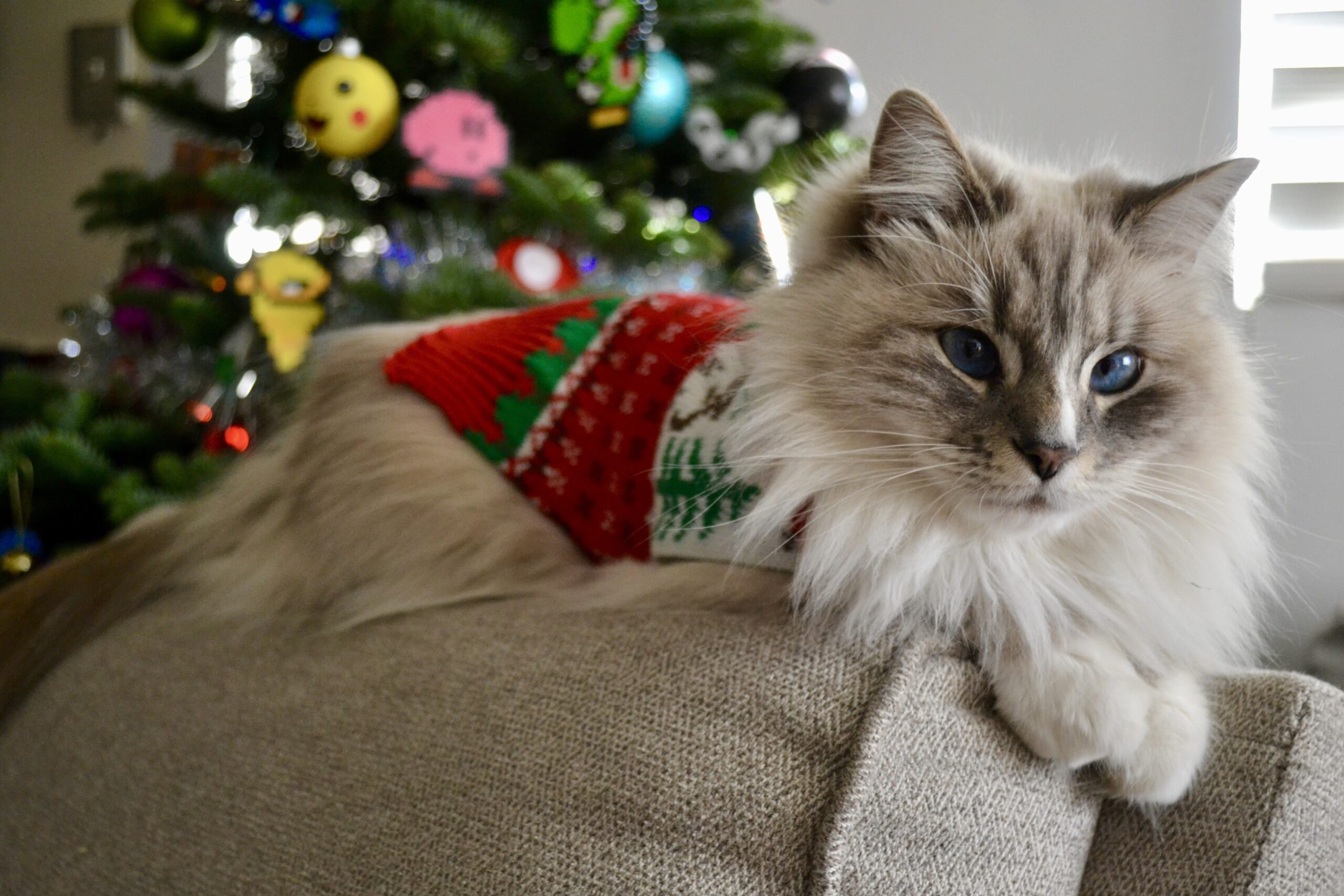 Ragdoll cat in Christmas sweater