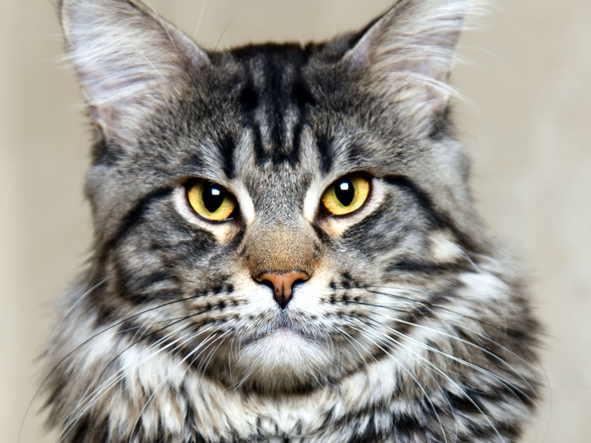 Maine Coon tabby cat with yellow eyes