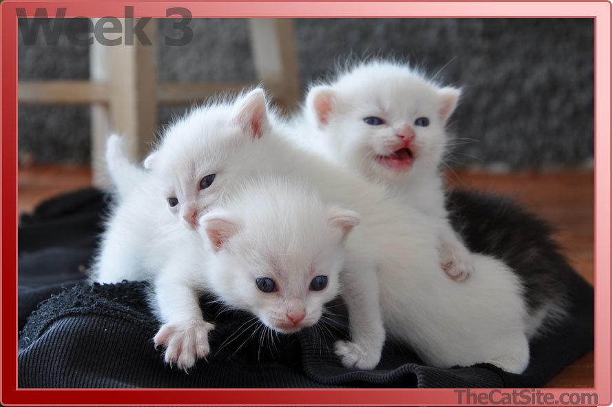 Three week old kittens