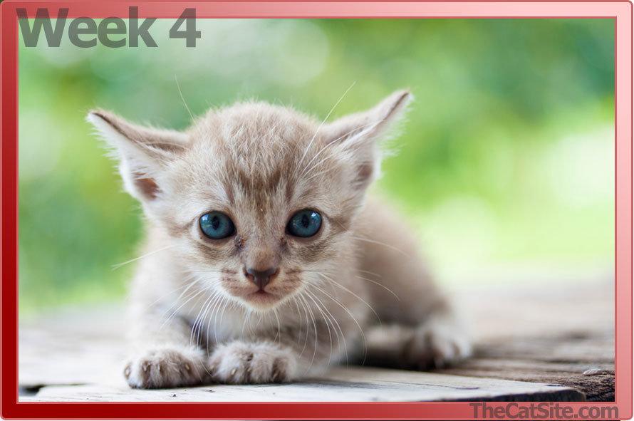 Month old kitten