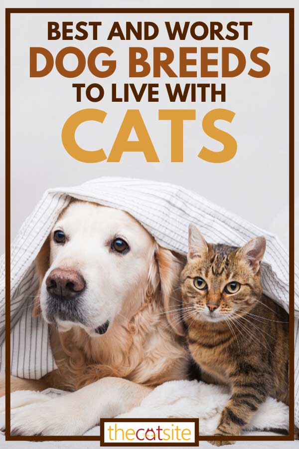 Golden retriever dog and cute mixed breed tabby cat laying together, Best And Worst Dog Breeds To Live With Cats