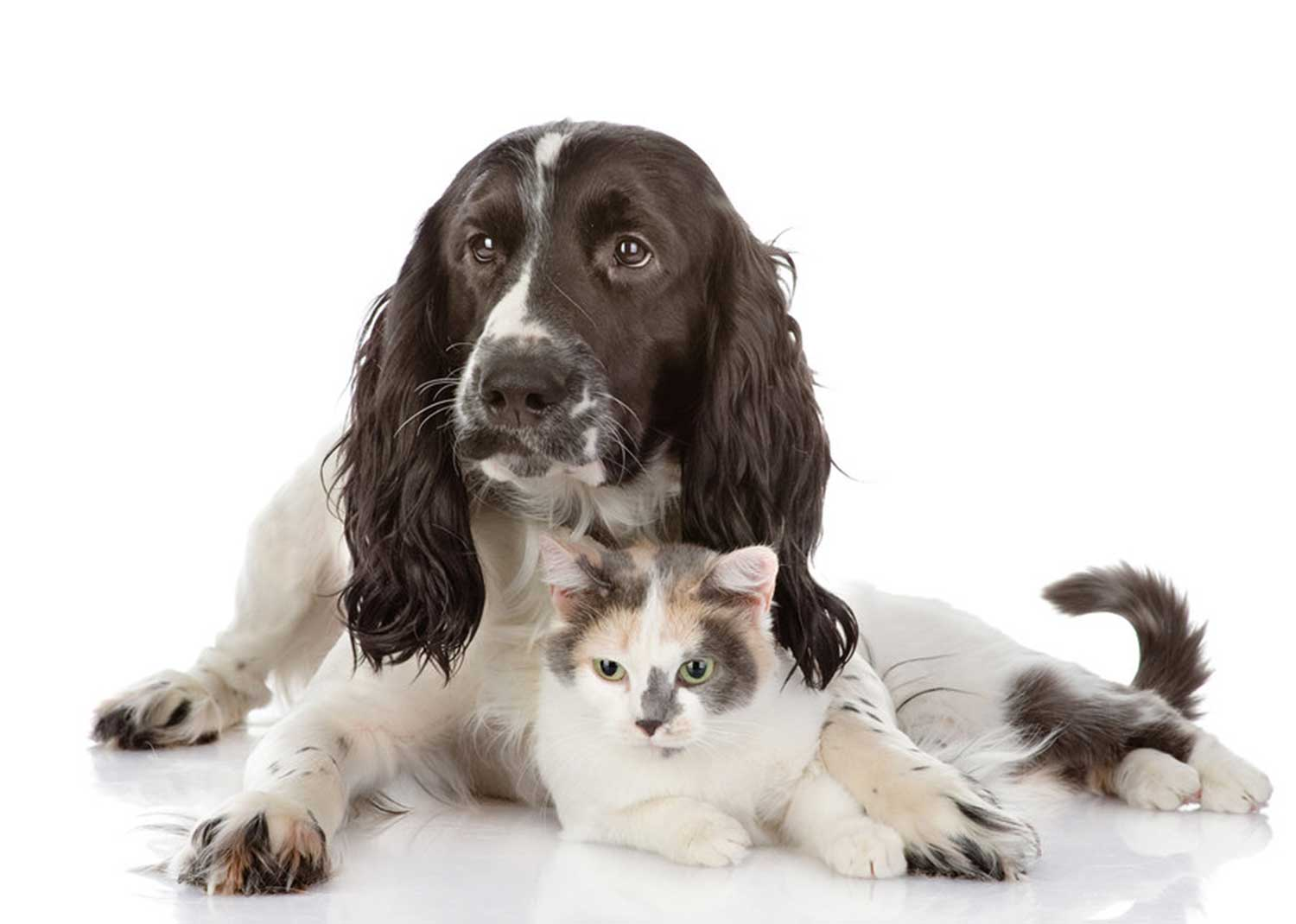 Cavalier King Charles Spaniel dog and a cat