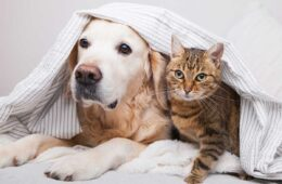 Happy young golden retriever dog and cute mixed breed tabby cat under cozy plaid, Best And Worst Dog Breeds To Live With Cats