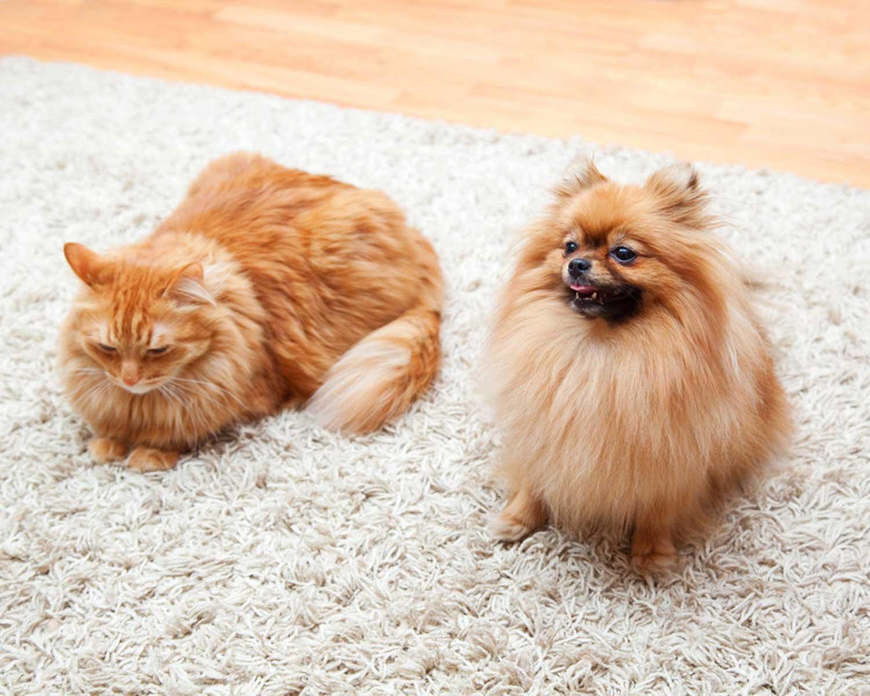 Pomeranian and a cat
