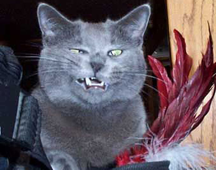 Blue gray cat making funny face