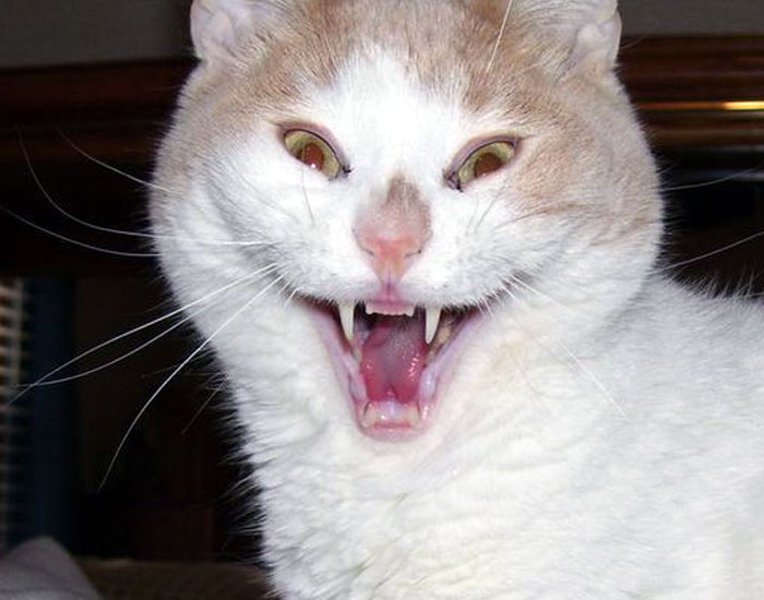 Funny cat appears to laugh