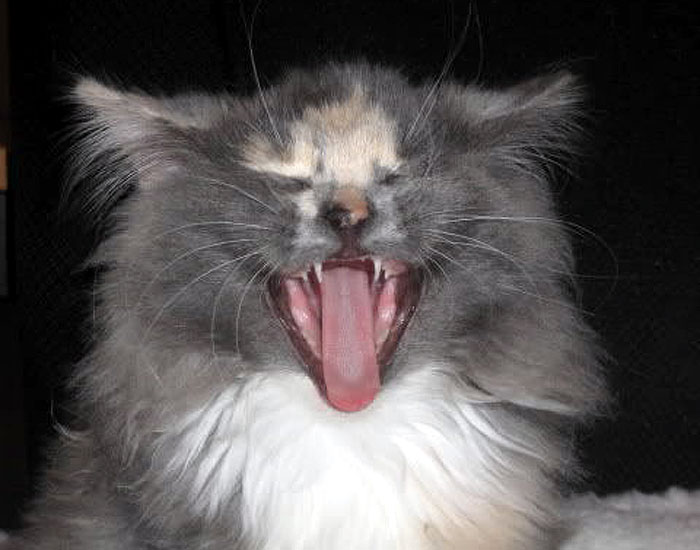 Longhair cat with open mouth