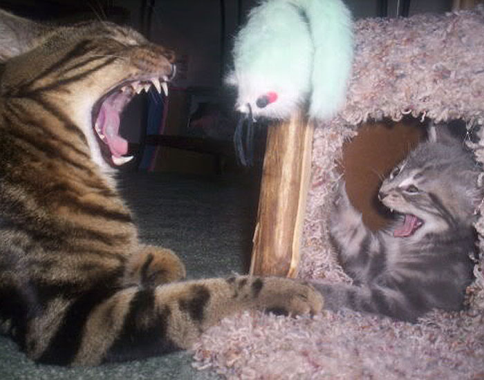 Cat and kitten with open mouth as if laughing