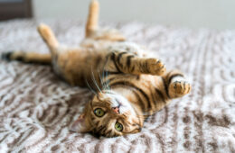 "A cat lying on the bed up right while looking on the camera, 7 Stunning Cat Rings That Will Make You Go ""meow!"""