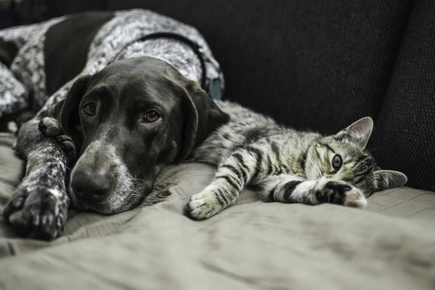 Dog and cat laying together on sofa