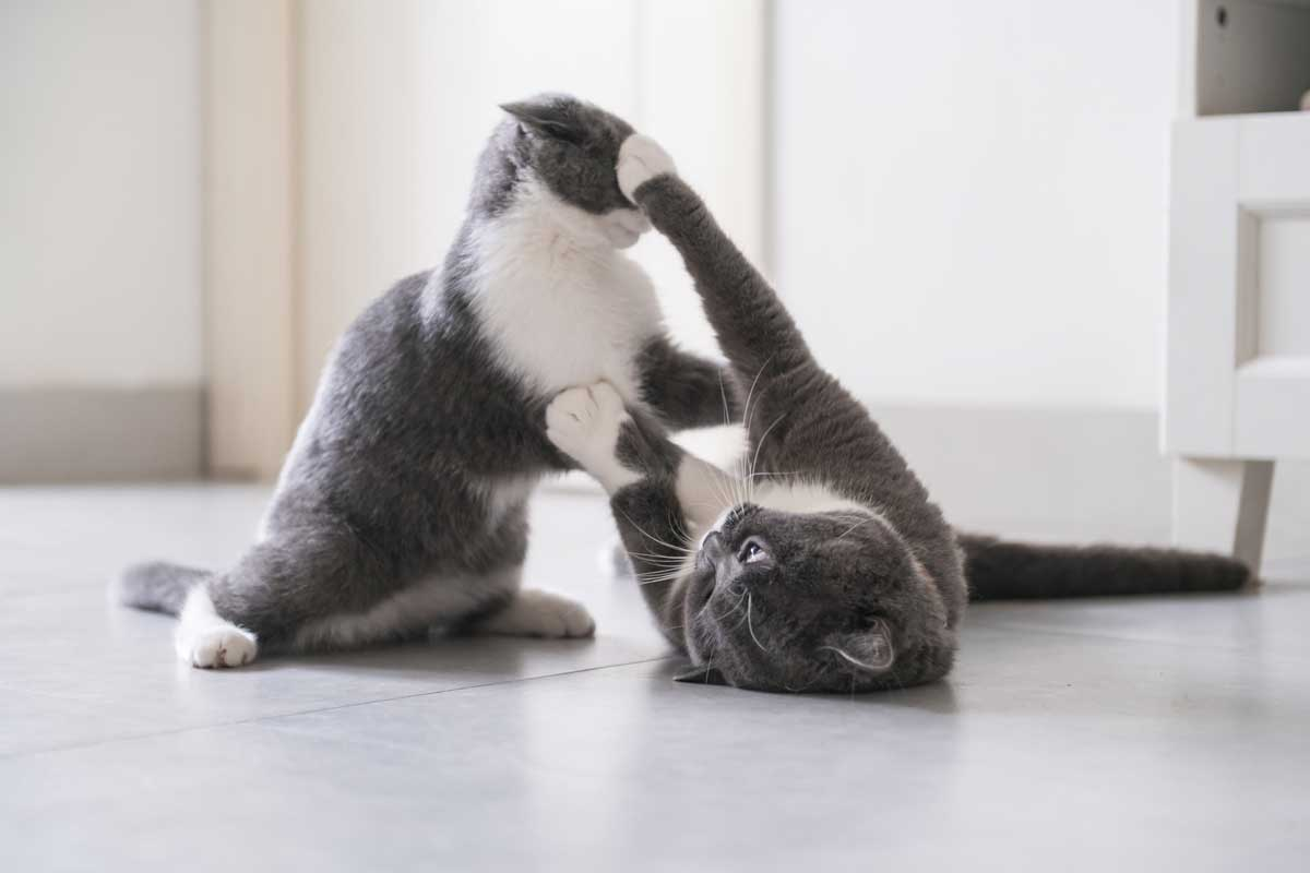 Cats aggressively fighting each other