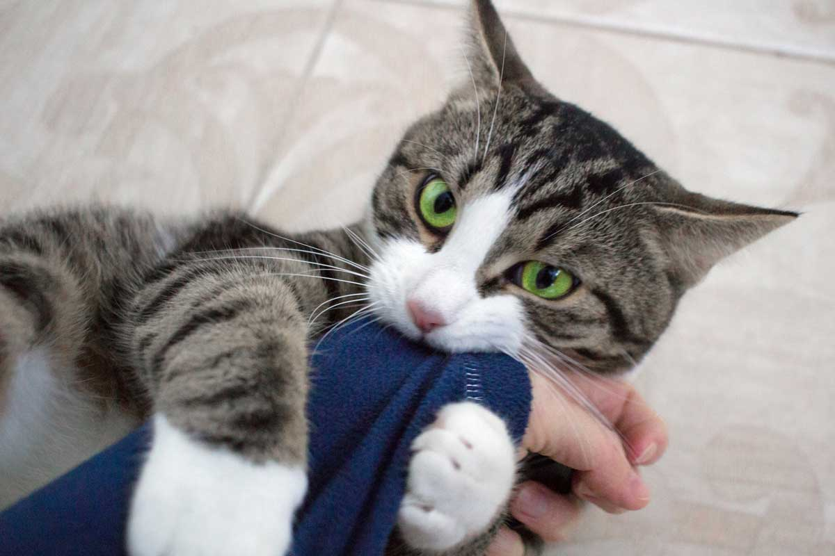 Cat attacking owner biting cloth
