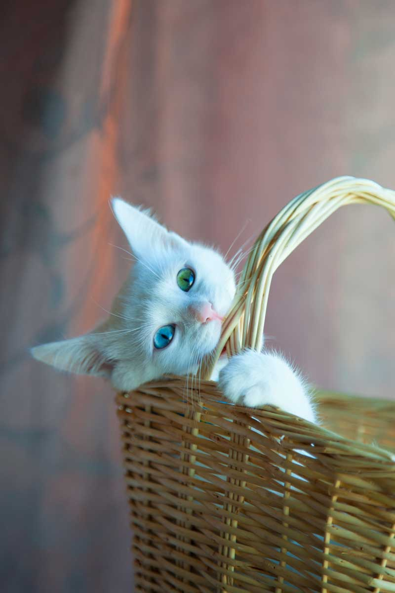 Cute white cat biting into basket possibly hungry