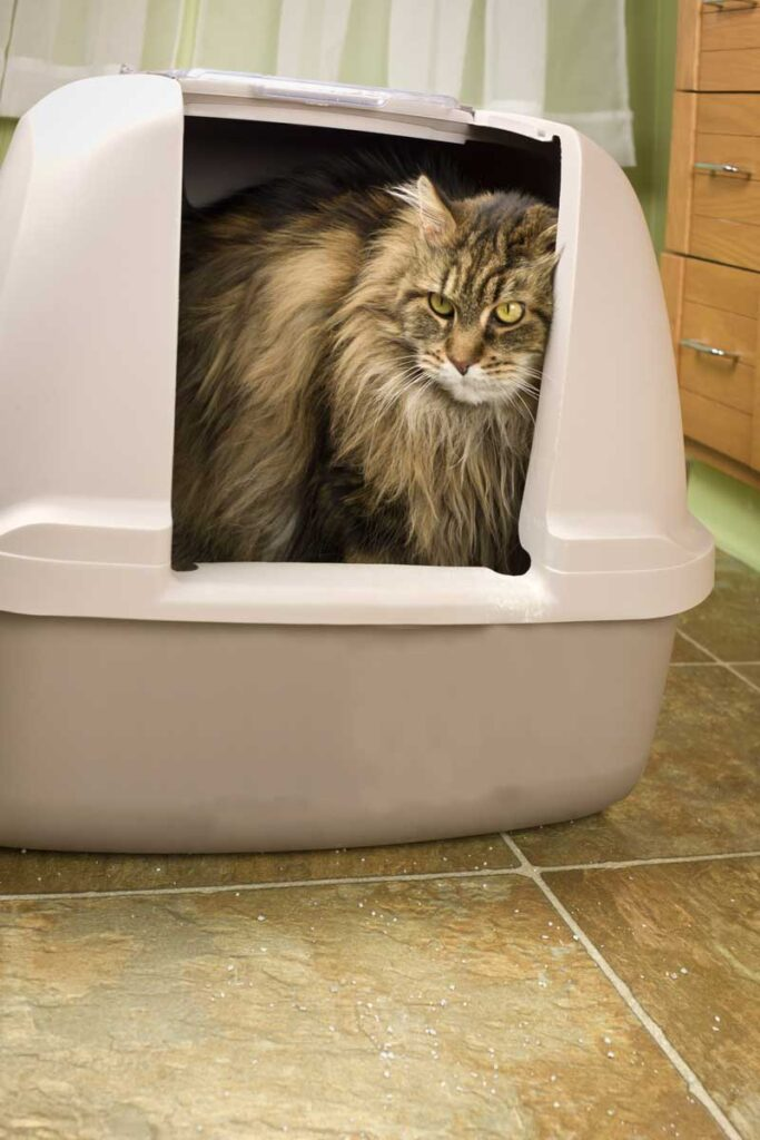 Furry cat walking around litter box