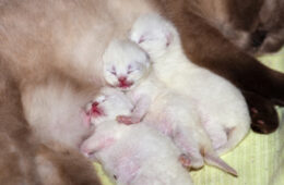 Newborn kittens sleeping after breastfeeding