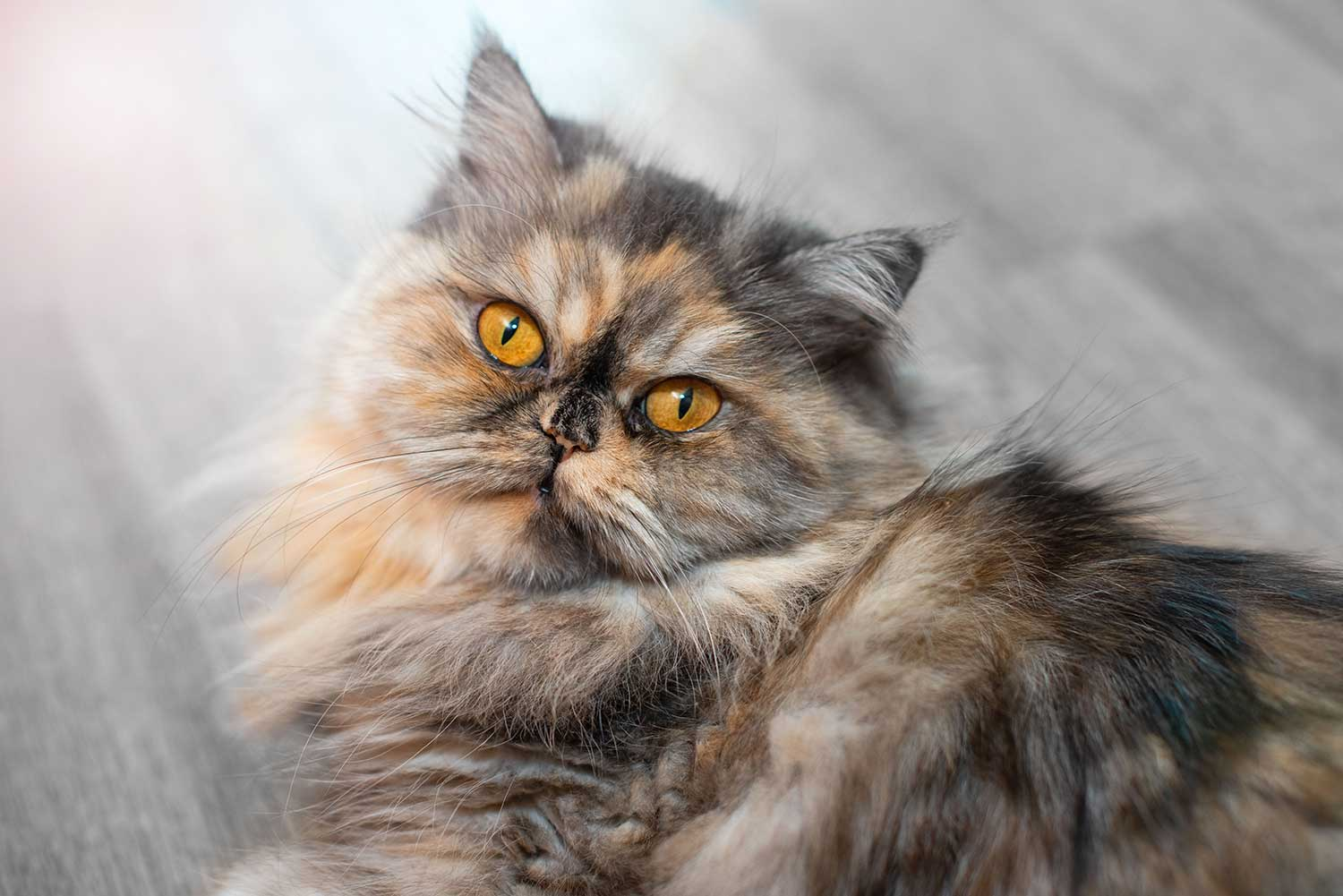Persians are a naturally established cat breed