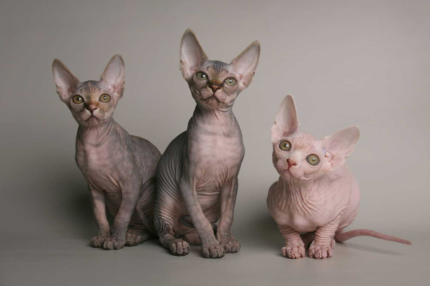 Sphynx cats were bred from a random genetic mutation