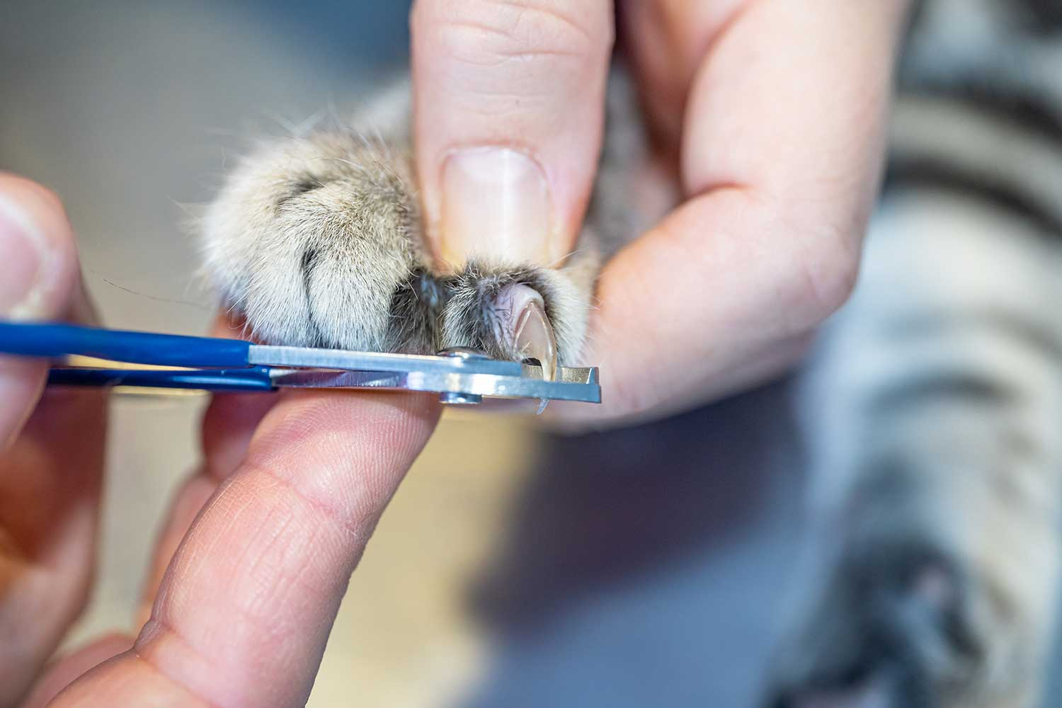 European Shorthair cat nail cutting by a veterinary nurse