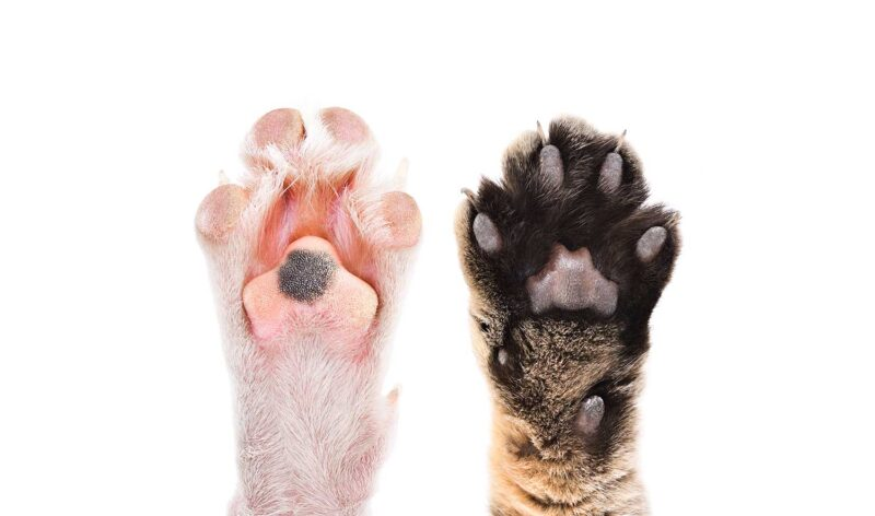 Paws of cat and dog together isolated on white background