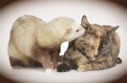 ferret licking ear of multicolored cat, do cats and ferrets get along