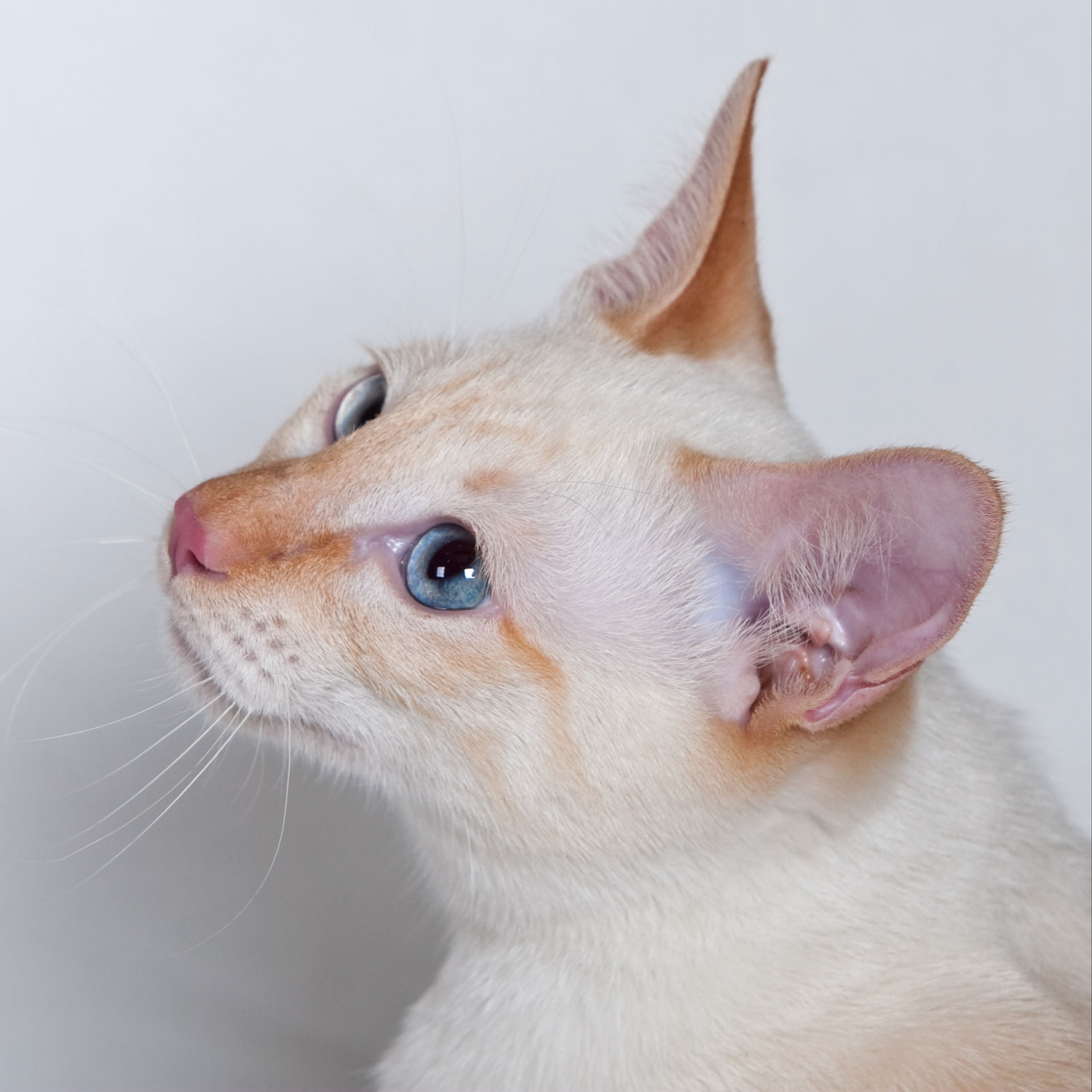A beautiful flame point Siamese cat looking at something