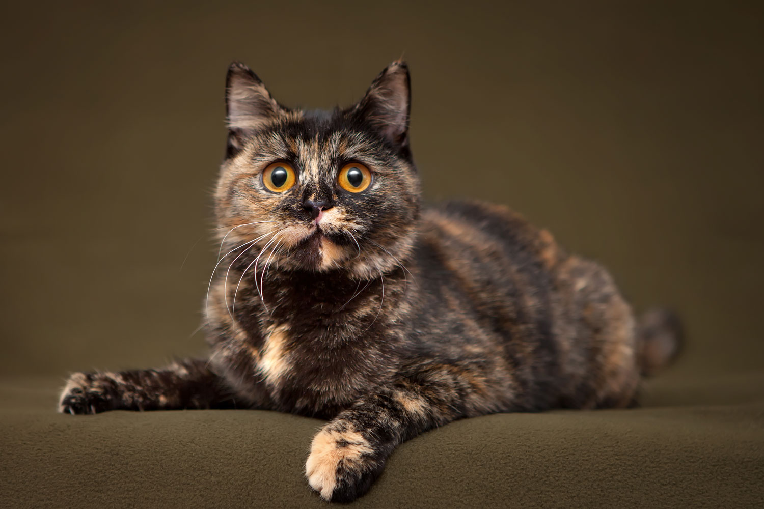 A gorgeous tortoiseshell cat sitting on the sofa