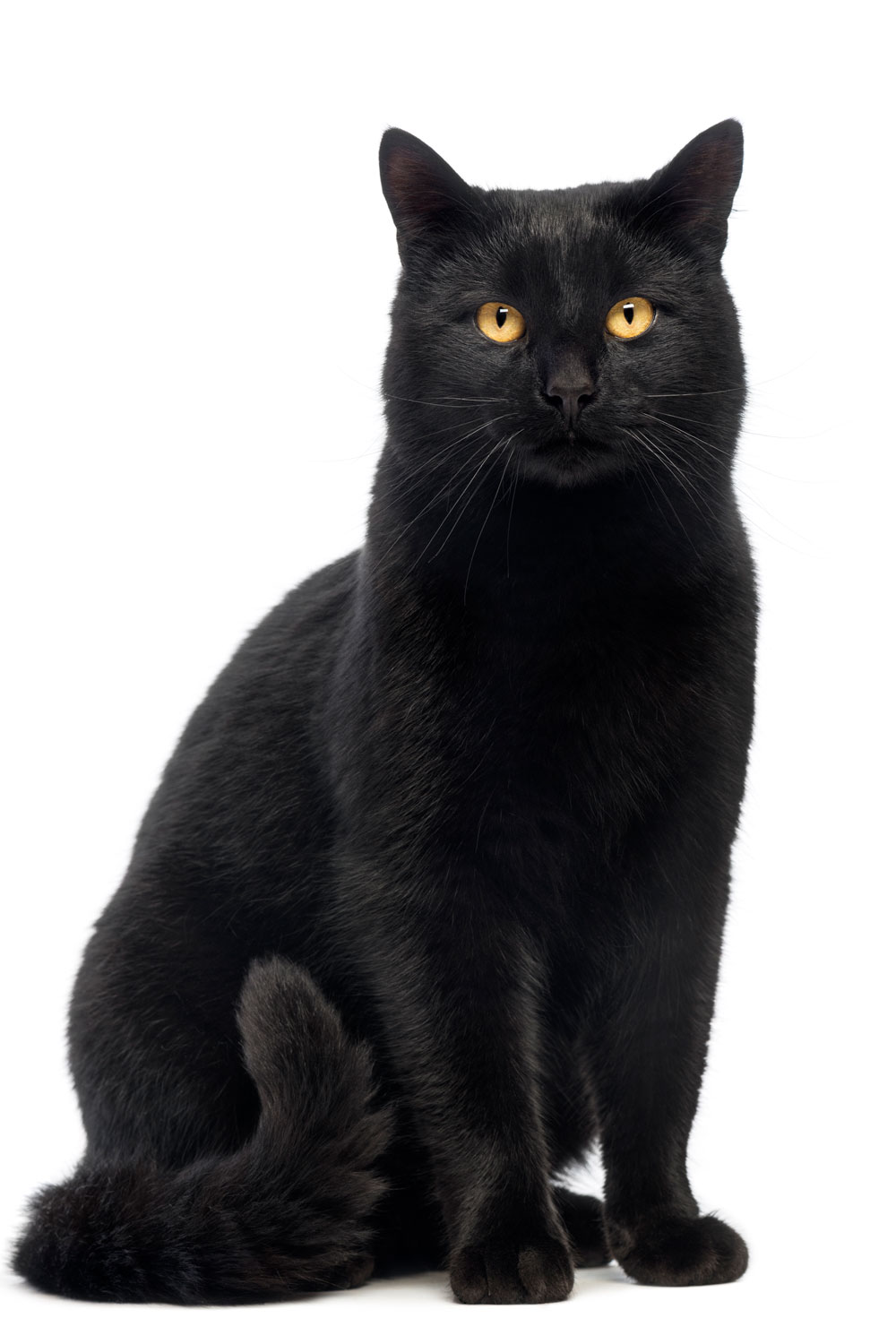 A black cat staring at the camera while sitting on a white background