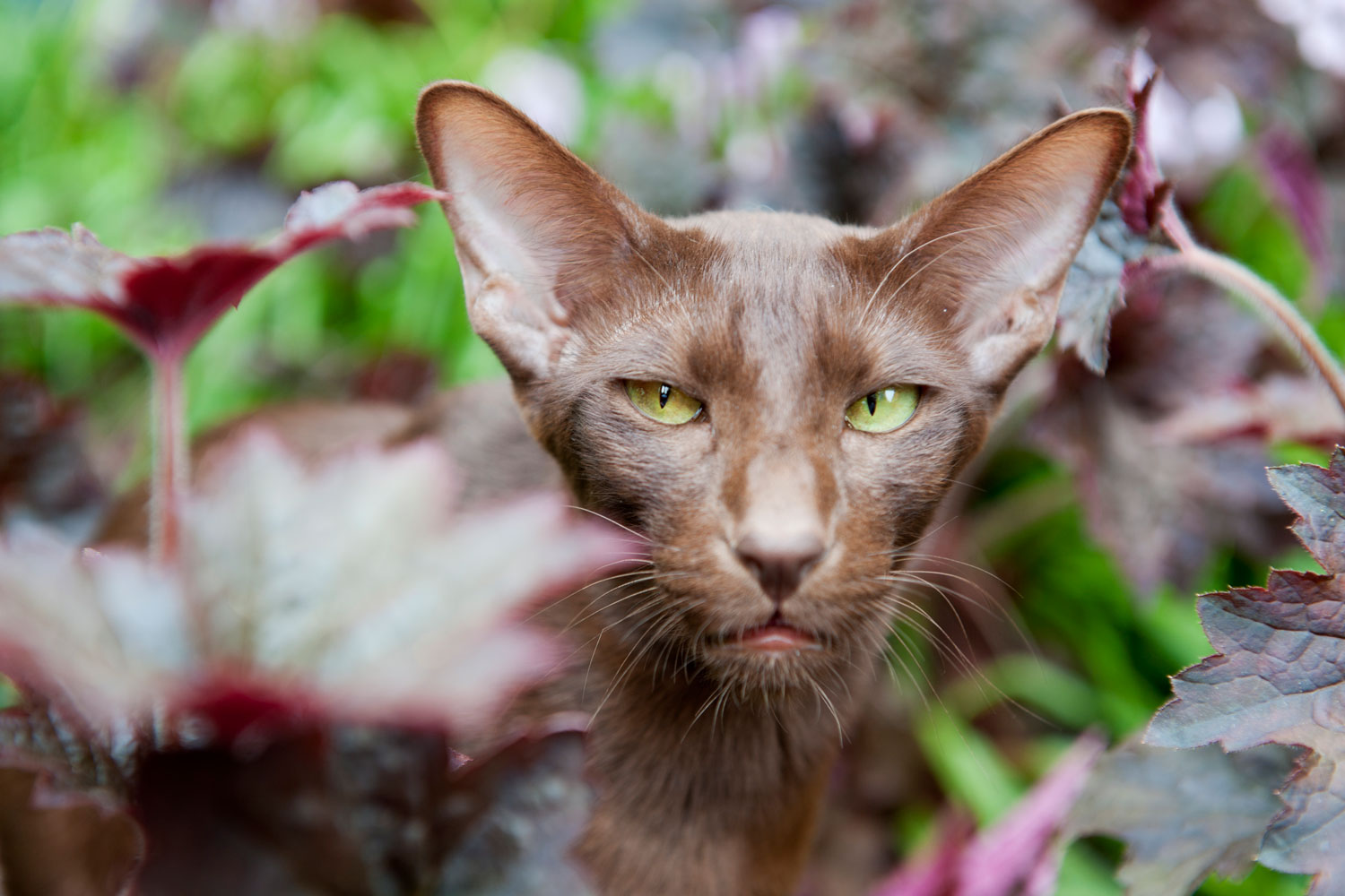 A brown Siamese cat staring at the camera while roaming in the garden
