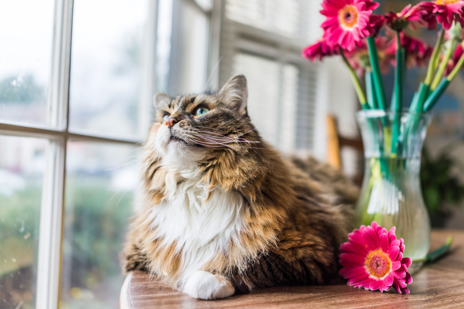 A Calico maine coon cat lying near a window with flowers on a vase at the background