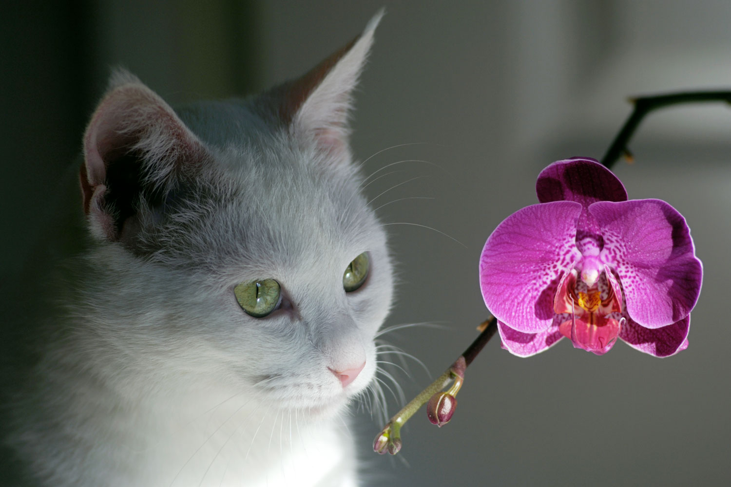 A cat smelling staring and smelling an orchid plant