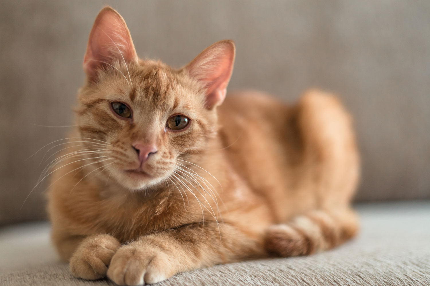 A cute brown haired tabby cat looking at the camera while sitting on the couch