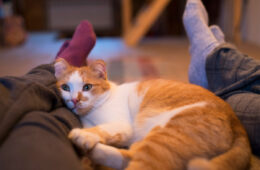 Cute orange cat lying on his female owners leg, Do Cats Have a Favorite Person?