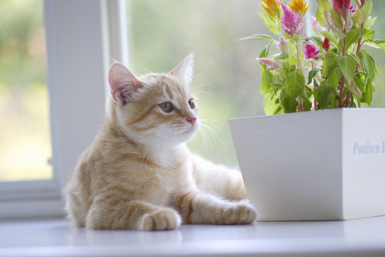 A cute white kitten sitting near the window with a celosia flower plant in the vase
