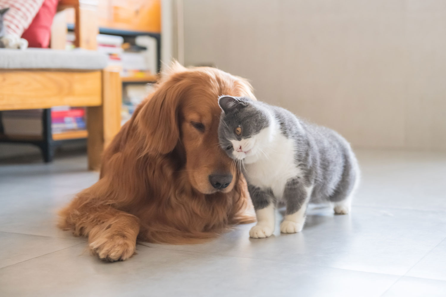 A golden retriever and a British cat rubbing on each other head showing content
