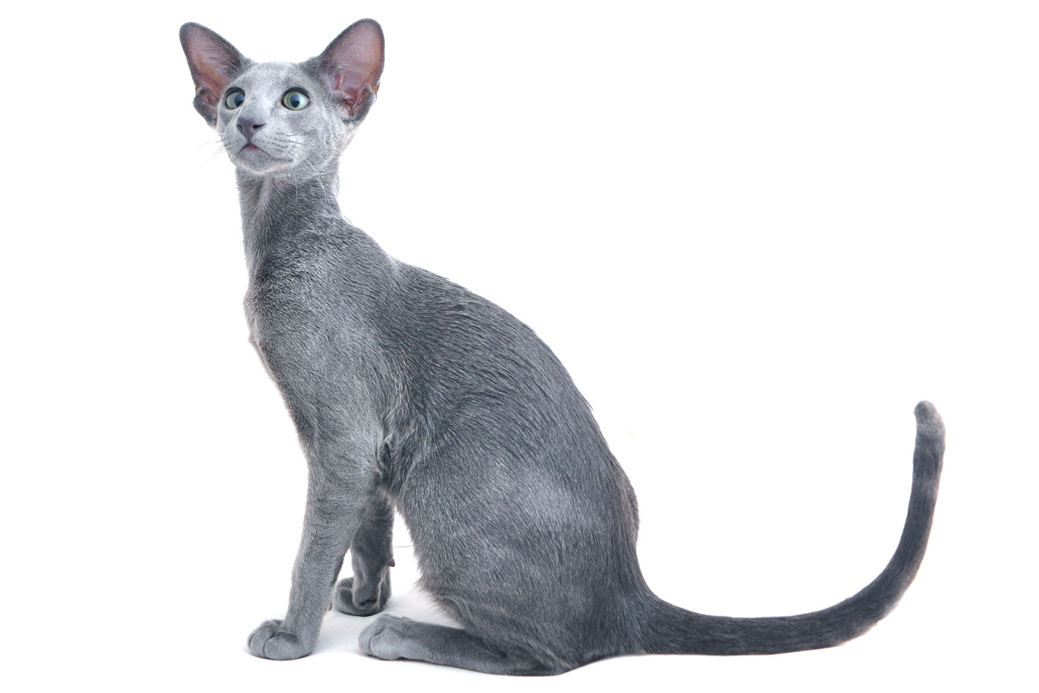 A gray oriental cat isolated on a white background