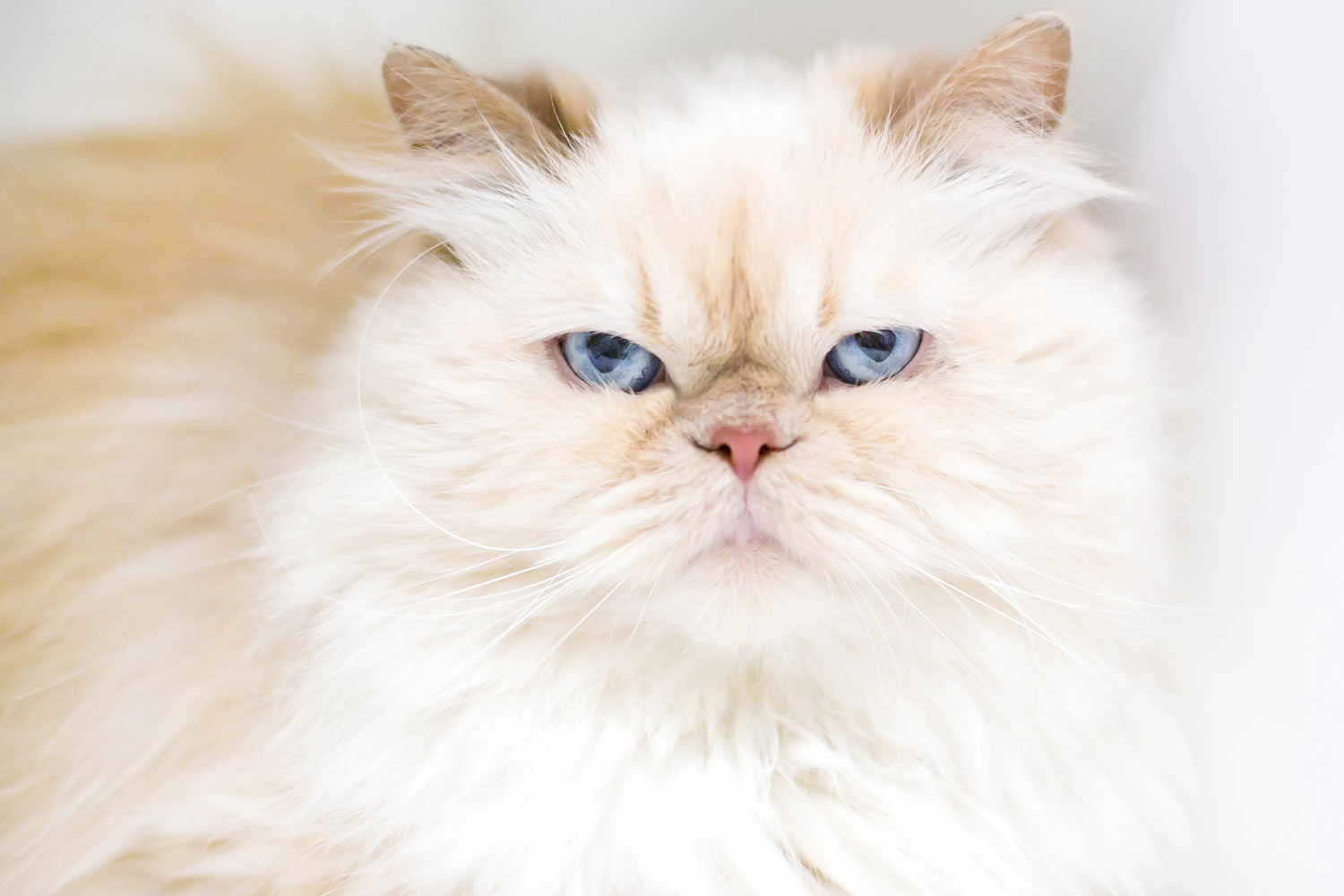 A flame point Persian cat looking at the camera