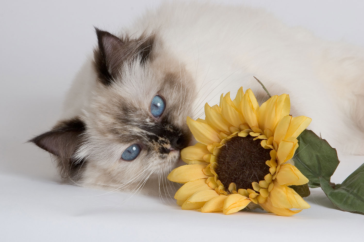 A ragdoll tortie point cat lying down and smelling a sunflower