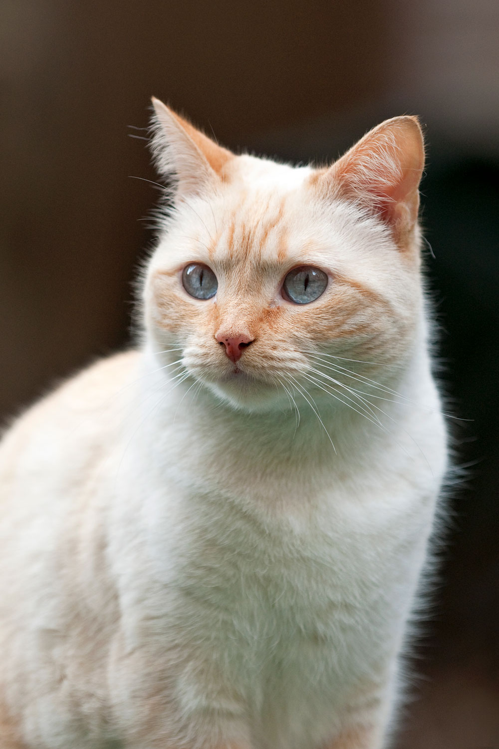 A flame point shorthaired cat