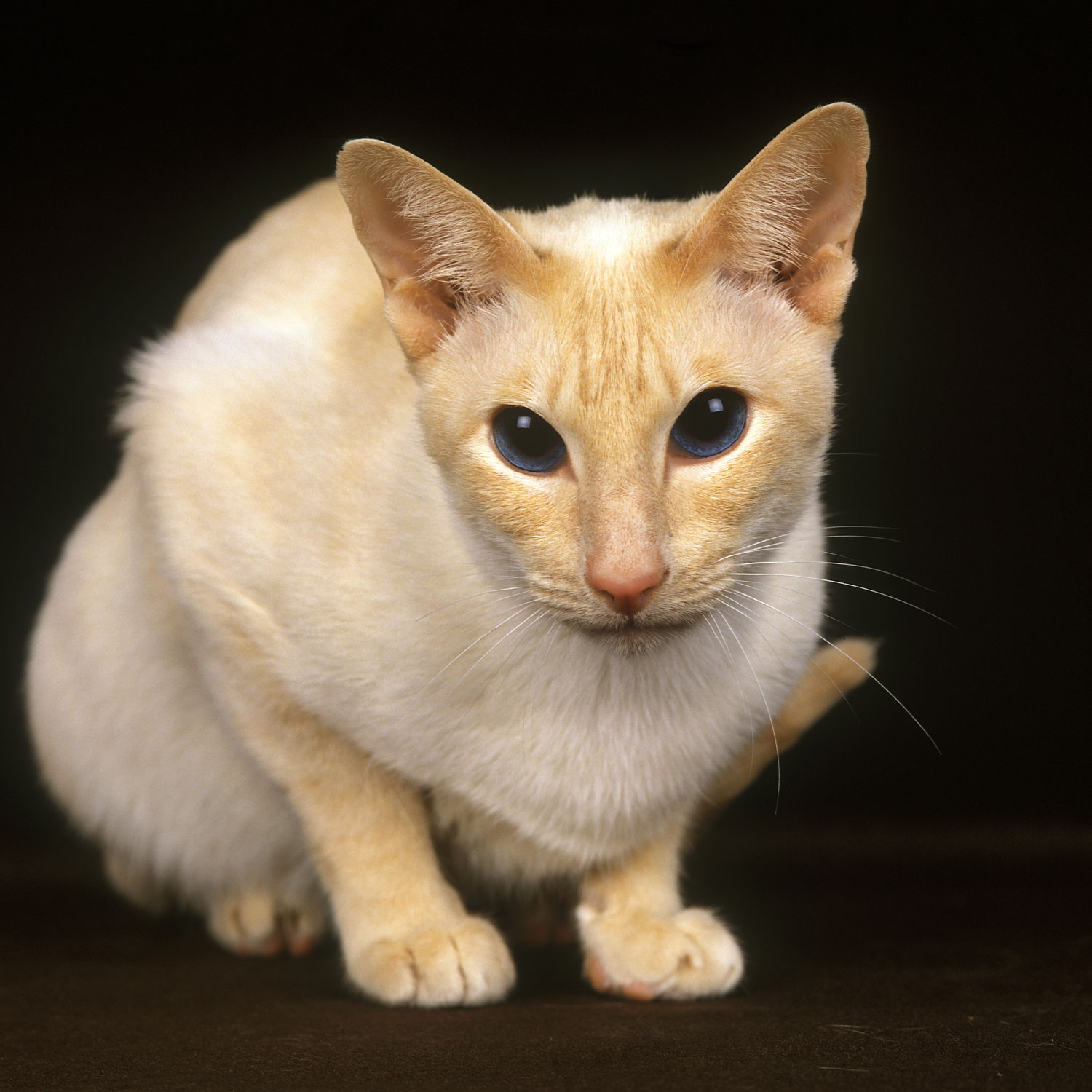 A red point Siamese cat looking at the camera photographed on a dark background