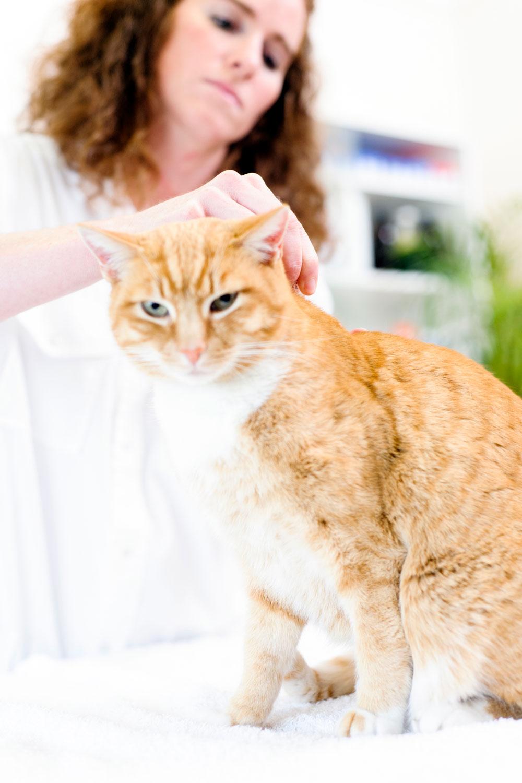 A veterinarian putting flea drops on a cat