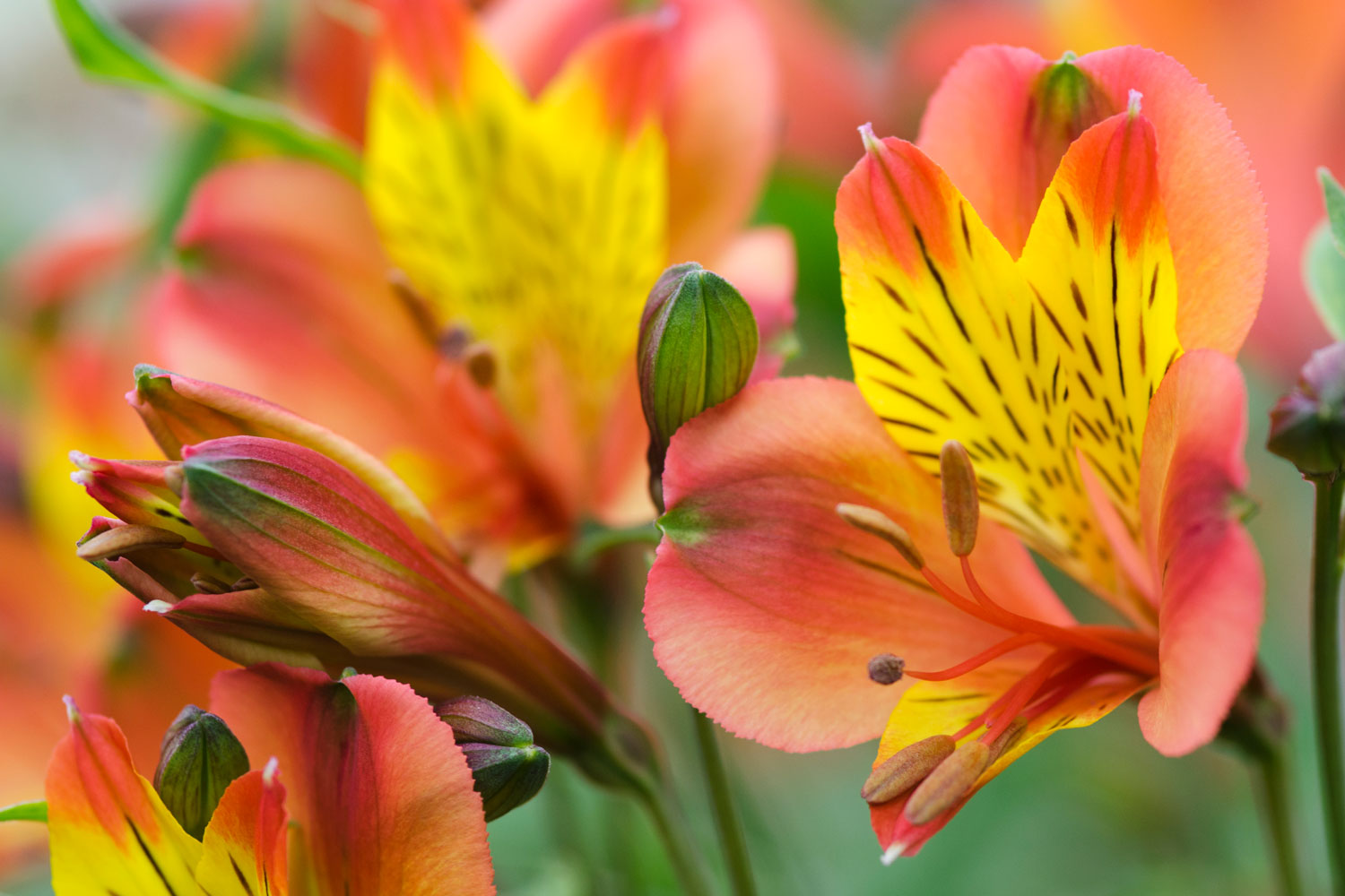 An up close photo of a Peruvian lily on a garden