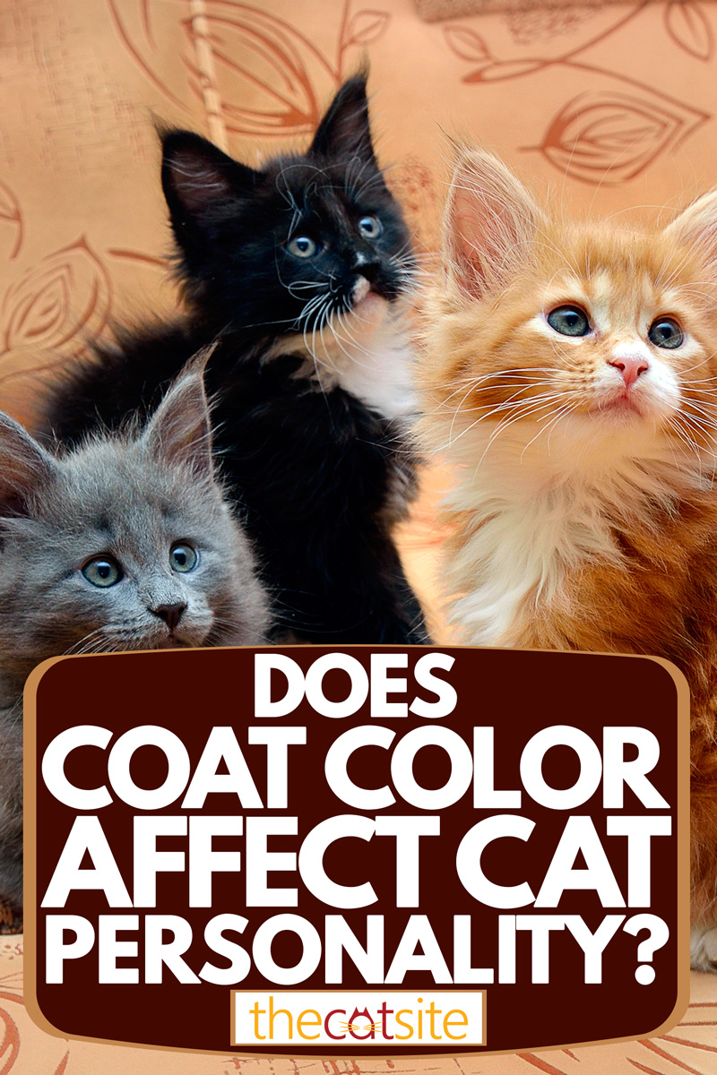 Three different colored cats sitting on the couch, Does Coat Color Affect Cat Personality?