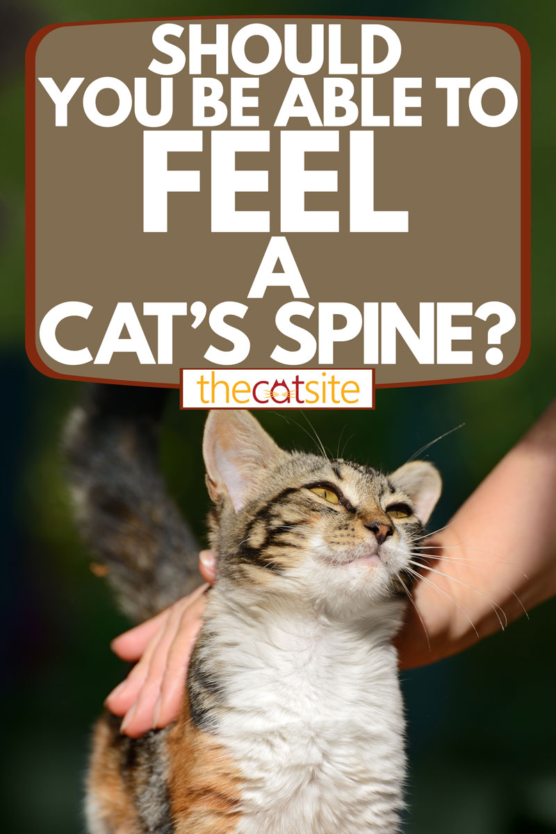 A man stroking his cat outside his house, Should You be Able to Feel a Cat's Spine?
