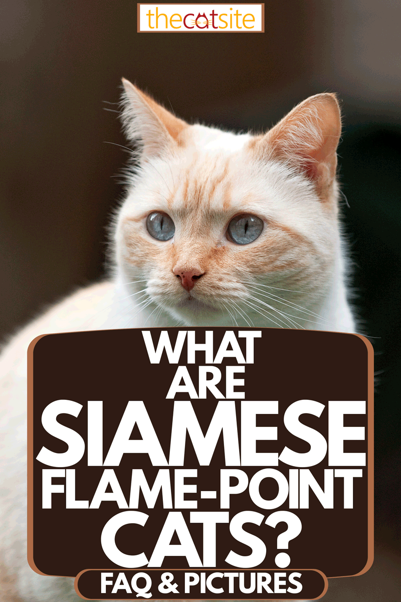 A beautiful flame point shorthaired cat [Article: What Are Siamese Flame-Point Cats? ]